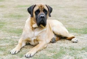 Exercising Your Mastiff