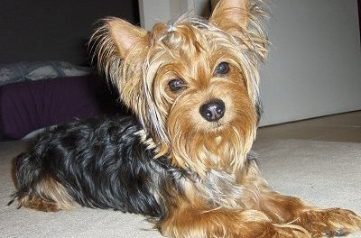 Exercising Your Yorkshire Terrier