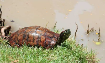 Choosing Your First Pet Box Turtle