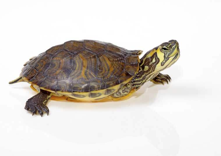 Baby Box Turtle Care Everything you need to know about caring for baby ...