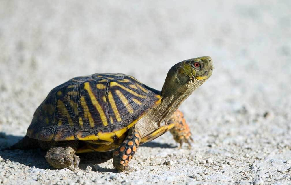 Should You Get a Box Turtle for a Pet?