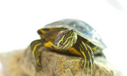 How to Care for a Baby Red Ear Slider Turtle