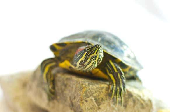Red-eared slider turtle care tips