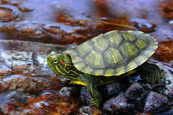 Caring For Your Red-Eared Slider Turtle