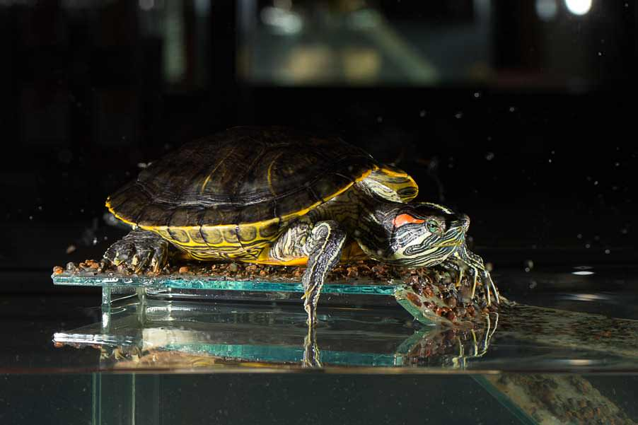 How to care for your red-eared slider turtle