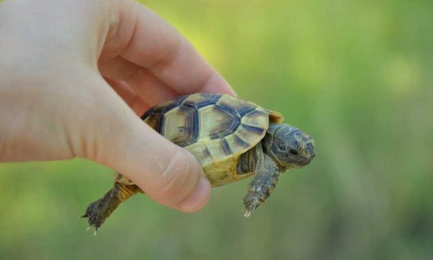 All About North American Box Turtles