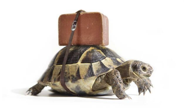 Tips for Traveling with your Box Turtle