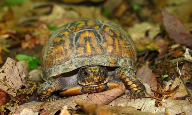 Caring For Your Box Turtle