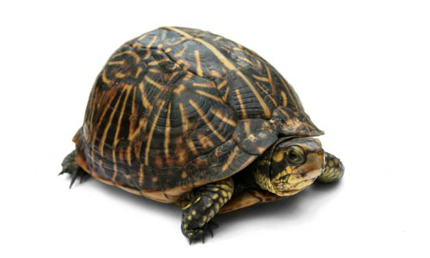 Everything You Need to Know About Box Turtle Hibernation