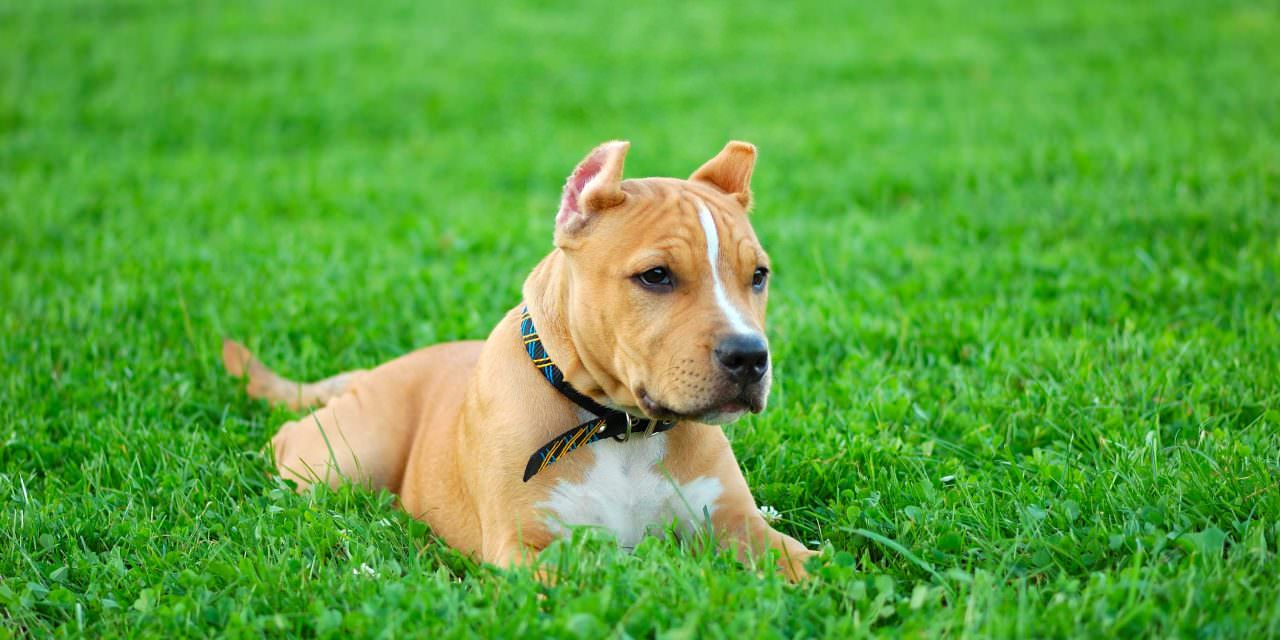 5 High-Quality Dog Collars For Your Pit Bull