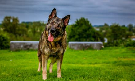 8 Great Toys For German Shepherd Dogs