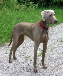 Exercising Your Weimaraner