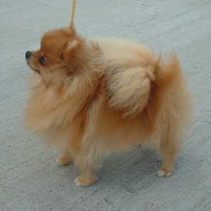 Exercising Your Pomeranian