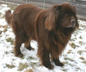 Exercising Your Newfoundland